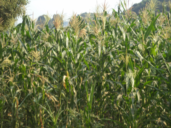 Picture of maize